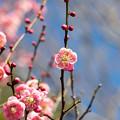 府中市郷土の森【梅の花:唐梅】6