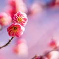 府中市郷土の森【梅の花:唐梅】7