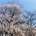 府中市郷土の森【梅の花:八重野梅】4銀塩