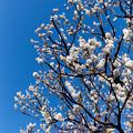 府中市郷土の森【梅の花:八重野梅】5銀塩