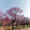 府中市郷土の森【梅の花:紅千鳥】1銀塩