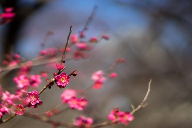 府中市郷土の森【梅の花:紅千鳥】2