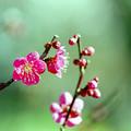 府中市郷土の森【梅の花:紅千鳥】4銀塩