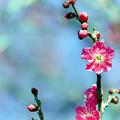 府中市郷土の森【梅の花:紅千鳥】5銀塩