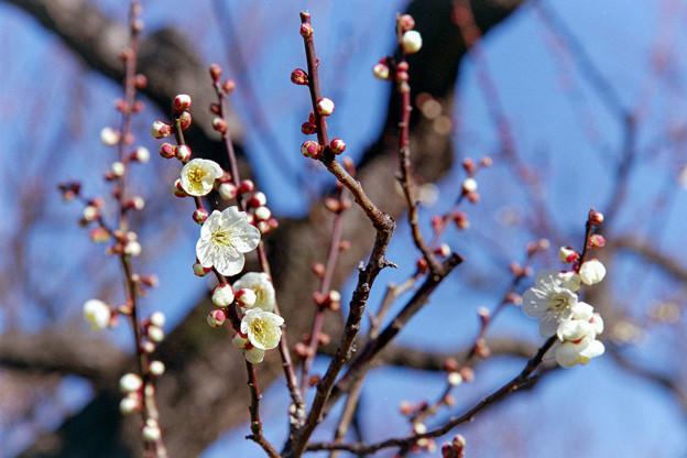 府中市郷土の森【梅の花:白加賀】1銀塩