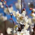 Photos: 府中市郷土の森【梅の花:白加賀】4