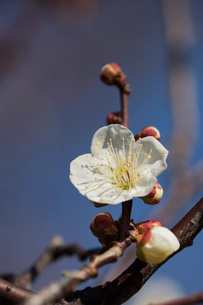 府中市郷土の森【梅の花:白加賀】5