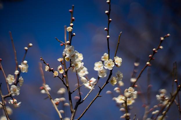 府中市郷土の森【梅の花:野梅】2