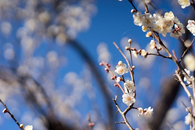 府中市郷土の森【梅の花:野梅】3