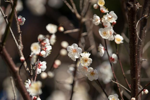 府中市郷土の森【梅の花:野梅】4