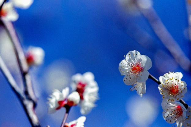 府中市郷土の森【梅の花:野梅】5銀塩