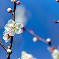 府中市郷土の森【梅の花:野梅】6銀塩