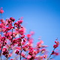 Photos: 府中市郷土の森【梅の花:鹿児島紅】2