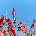 Photos: 府中市郷土の森【梅の花:鹿児島紅】3銀塩