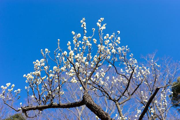 府中市郷土の森【梅の花:一重緑萼】1