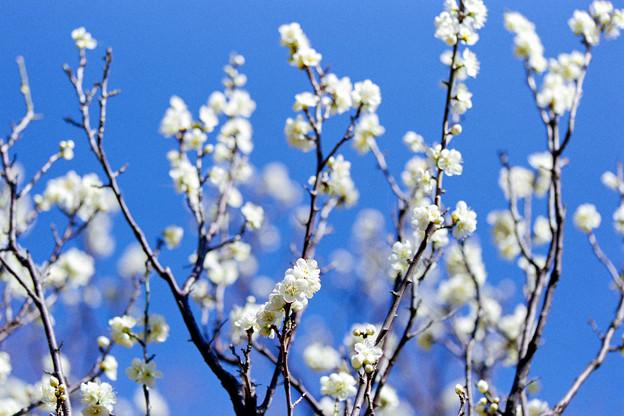 府中市郷土の森【梅の花:一重緑萼】2銀塩