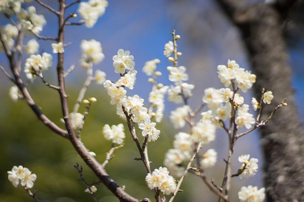 府中市郷土の森【梅の花:一重緑萼】3