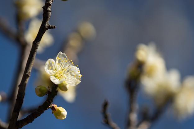 府中市郷土の森【梅の花:一重緑萼】4