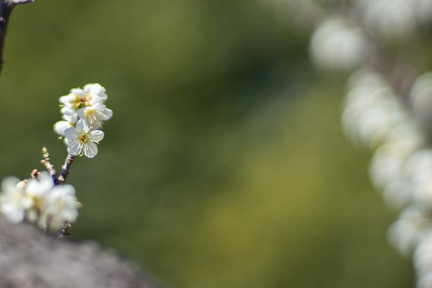 府中市郷土の森【梅の花:一重緑萼】5