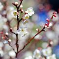 府中市郷土の森【梅の花:小向】2銀塩