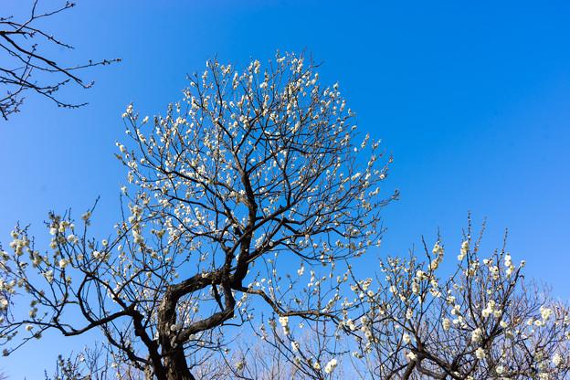 府中市郷土の森【梅の花:玉牡丹】