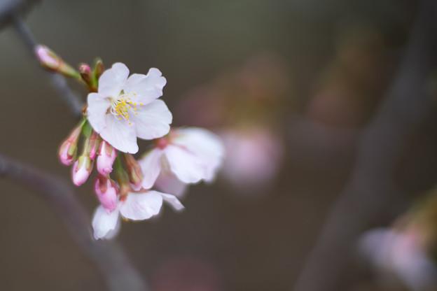 大船フラワーセンター【玉縄桜】4