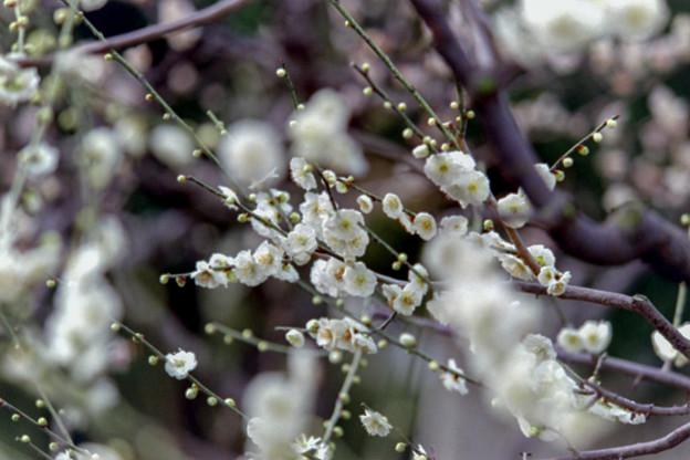大船フラワーセンター【梅の花:大輪緑萼】1銀塩