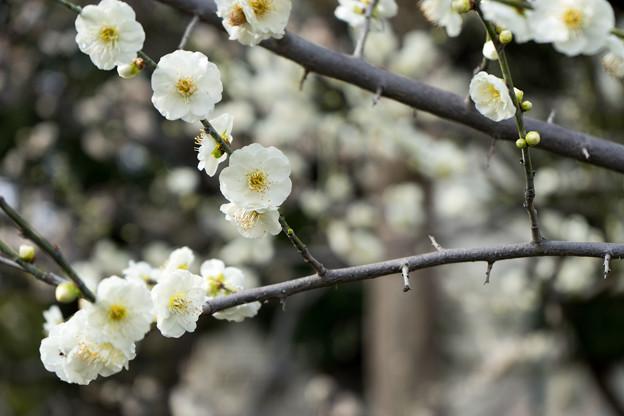 大船フラワーセンター【梅の花:大輪緑萼】2