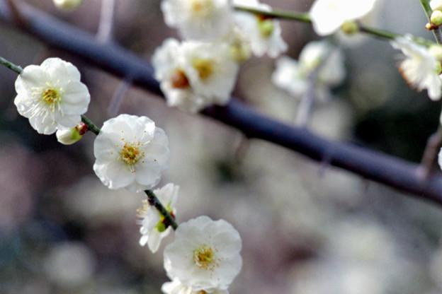 大船フラワーセンター【梅の花:大輪緑萼】3銀塩