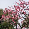 大船フラワーセンター【梅の花:唐梅】1