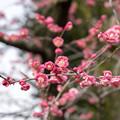 大船フラワーセンター【梅の花:唐梅】2