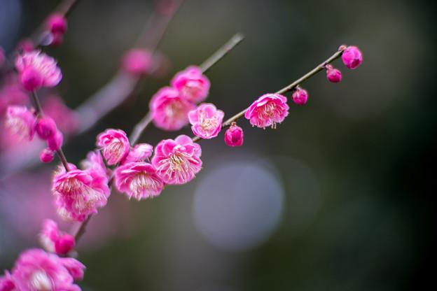 大船フラワーセンター【梅の花:唐梅】4