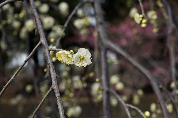 大船フラワーセンター【梅の花:緑萼枝垂】1