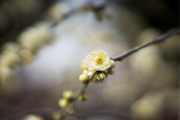 Photos: 大船フラワーセンター【梅の花:緑萼枝垂】2