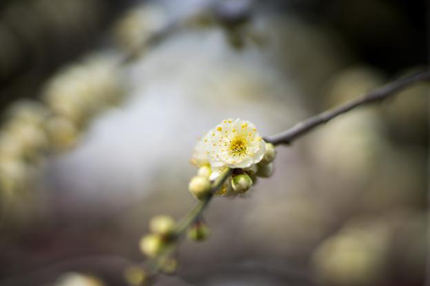 大船フラワーセンター【梅の花:緑萼枝垂】2