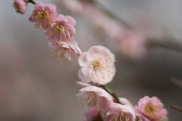 大船フラワーセンター【梅の花:内裏】