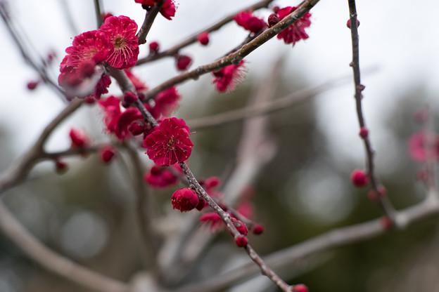 大船フラワーセンター【梅の花:鹿児島紅】