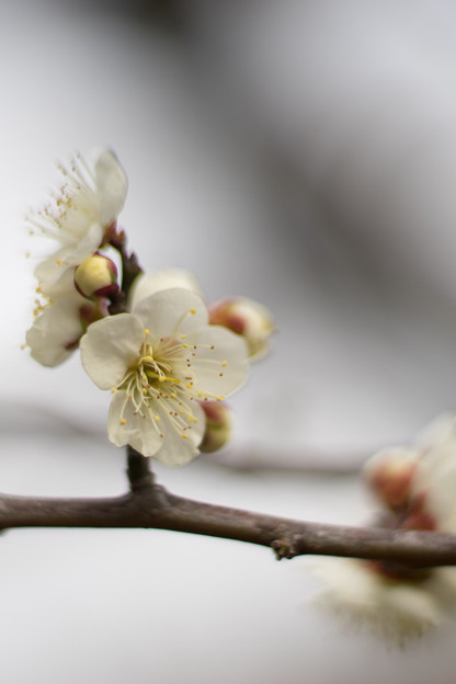 大船フラワーセンター【梅の花:鶯の谷】