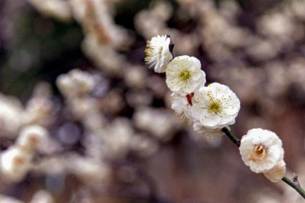 大船フラワーセンター【梅の花:八重茶青】2銀塩