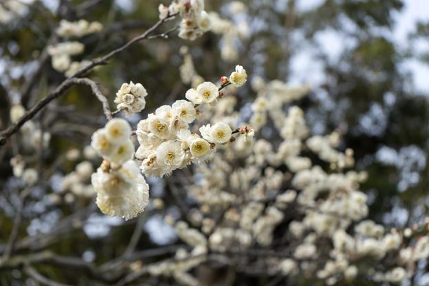 大船フラワーセンター【梅の花:玉牡丹】1