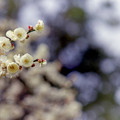 大船フラワーセンター【梅の花:玉牡丹】2銀塩