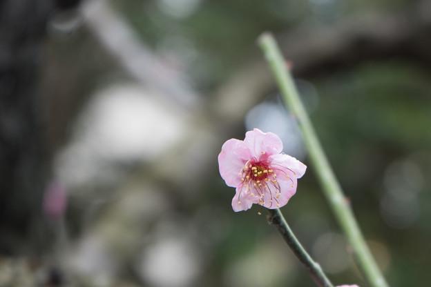 大船フラワーセンター【梅の花:道知辺】