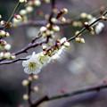 大船フラワーセンター【梅の花:玉英】銀塩
