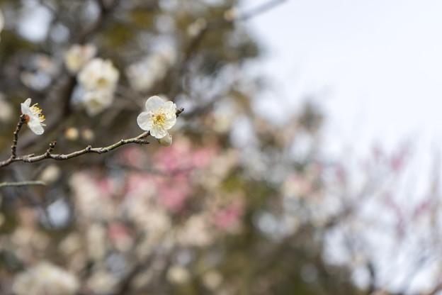大船フラワーセンター【梅の花:田毎の月】