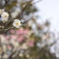 Photos: 大船フラワーセンター【梅の花:田毎の月】