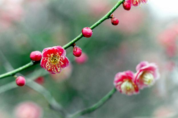 大船フラワーセンター【梅の花:緋の司】銀塩