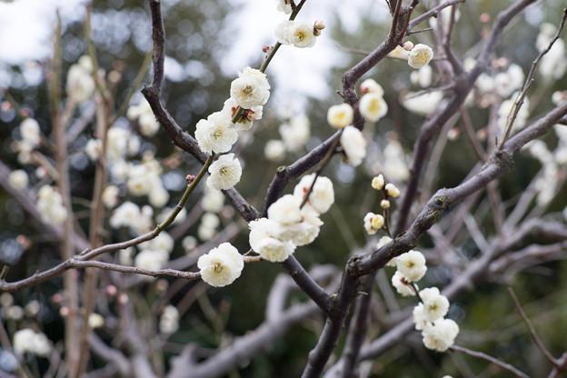 大船フラワーセンター【梅の花:長寿】