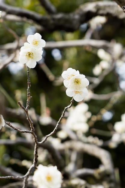 大船フラワーセンター【梅の花:残雪】