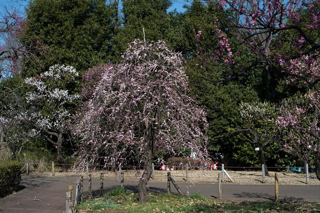 府中市郷土の森【梅の花:藤牡丹枝垂】1