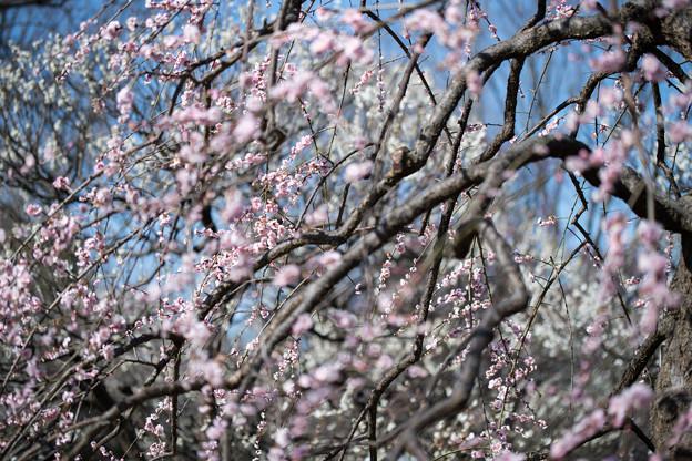 Photos: 府中市郷土の森【梅の花:藤牡丹枝垂】3